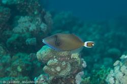 BD-120425-Marsa-Alam-6524-Sufflamen-albicaudatum-(Rüppell.-1829)-[Bluethroat-triggerfish].jpg